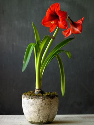 amaryllis1-300